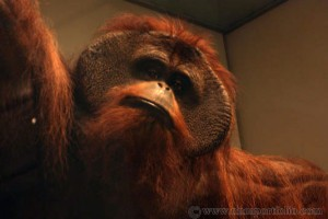 Smithsonian National Museum of Natural History - Bornean Orangutan