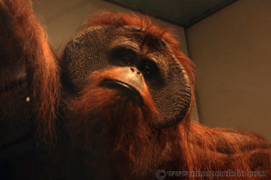 Smithsonian National Museum of Natural History - Bornean Orangutan