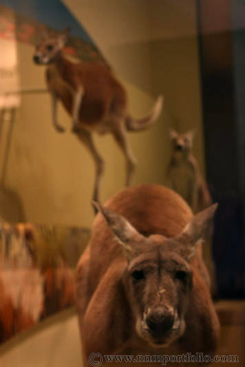 Smithsonian National Museum of Natural History - Kangaroos