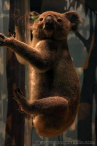 Smithsonian National Museum of Natural History - Koala Bear