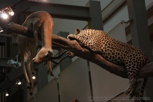 Smithsonian National Museum of Natural History - Leopard
