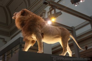 Smithsonian National Museum of Natural History - Lion