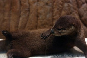 Smithsonian National Museum of Natural History - Otter