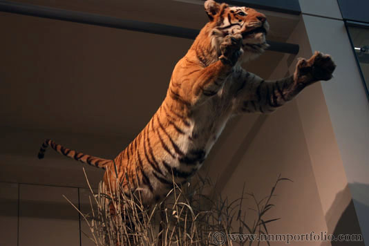 Smithsonian National Museum of Natural History - Tiger