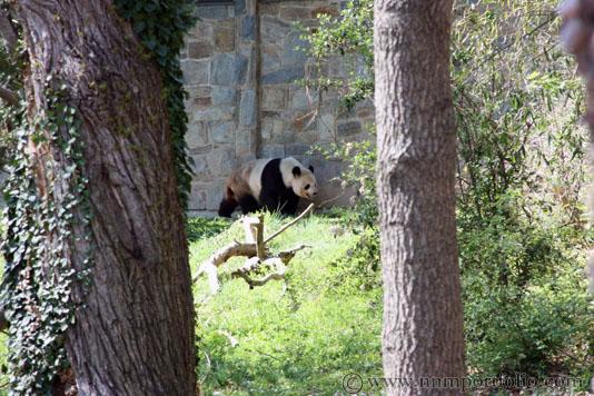 Smithsonian National Zoo - Giant Panda
