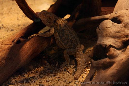 Smithsonian National Zoo - Inland Bearded Dragon