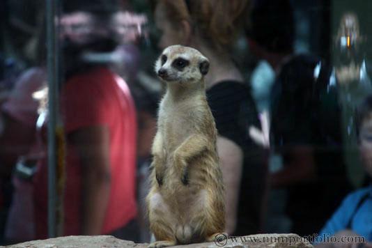 Smithsonian National Zoo - Meerkat