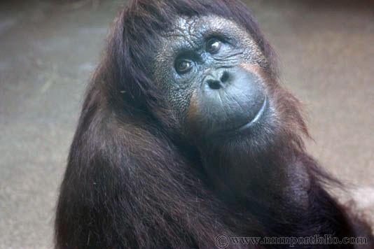 Smithsonian National Zoo - Orangutan