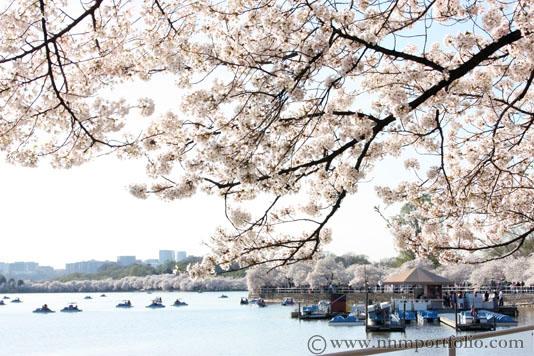 Washington DC Monuments - The Tidal Basin Cherry Blossoms