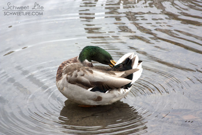 Central Park Birds Grooming Duck