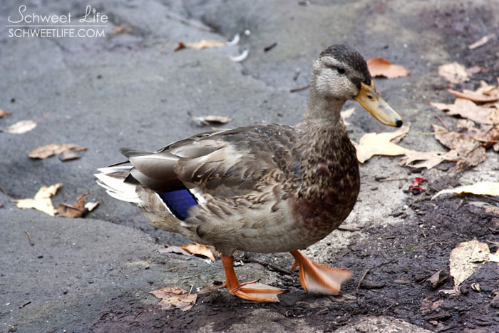 Central Park Birds Duck on a Rock