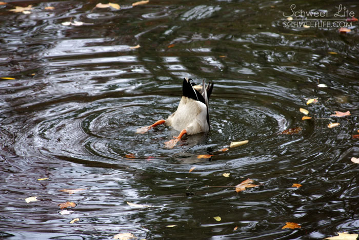 Central Park Birds Duck Fishing
