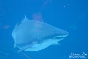 Georgia Aquarium - Sand Tiger Shark