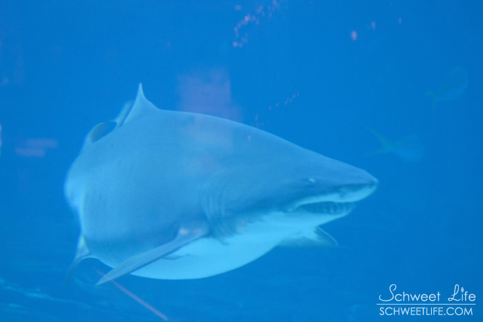 Georgia Aquarium - Sand Tiger Shark