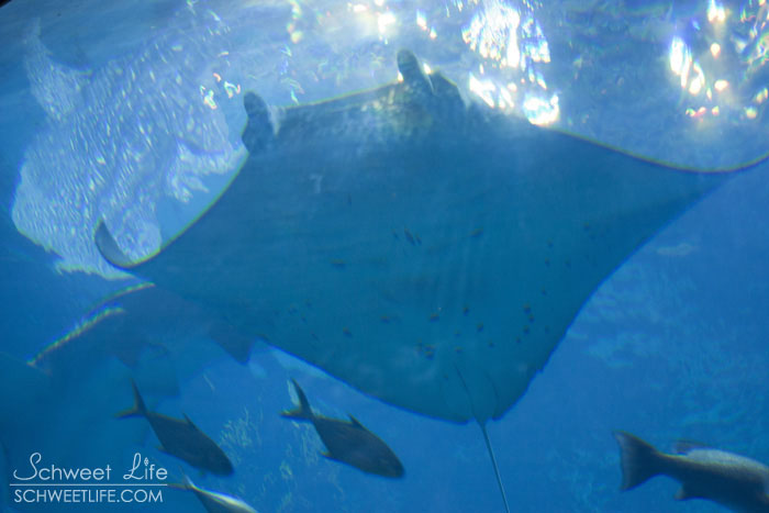 Georgia Aquarium - Stingray